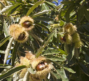 Chestnuts-Marroni200810-1s.jpg